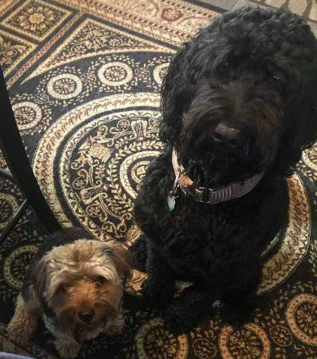 Rescued Yorkshire Terrier and Labradoodle dogs